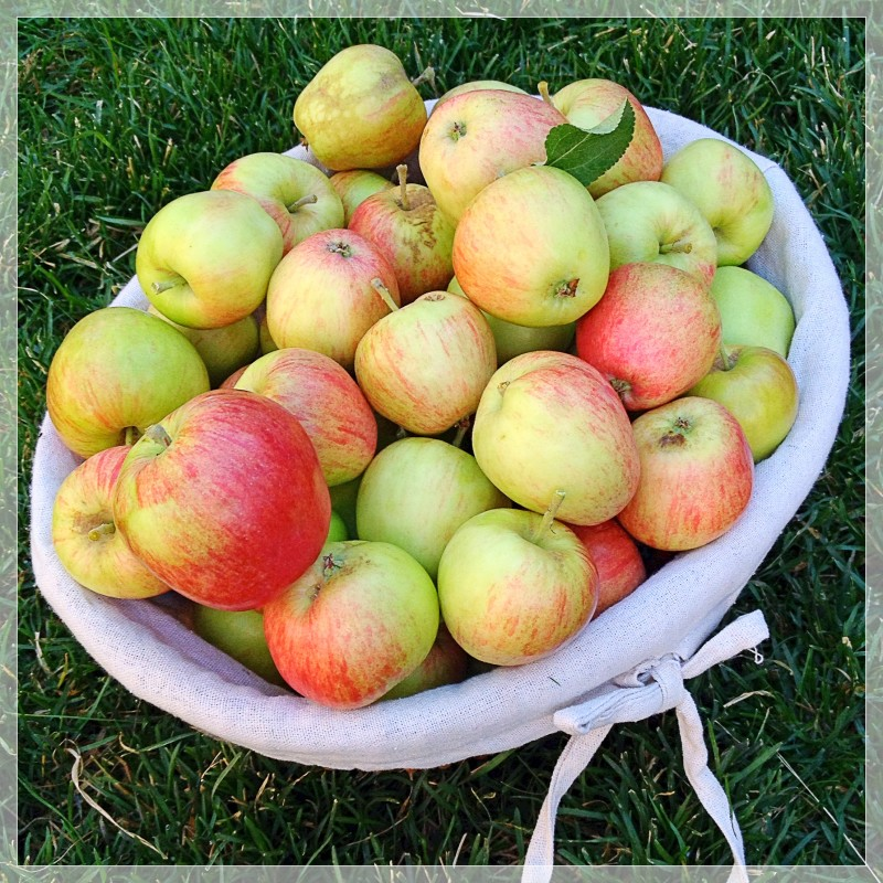 Early Apple Harvest