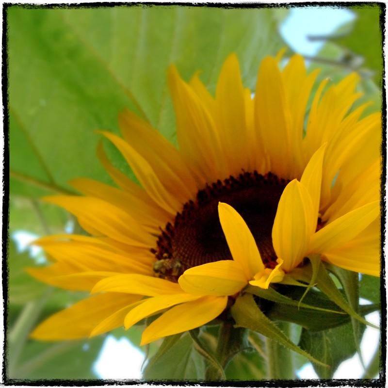 Yellow Sunflower 2015