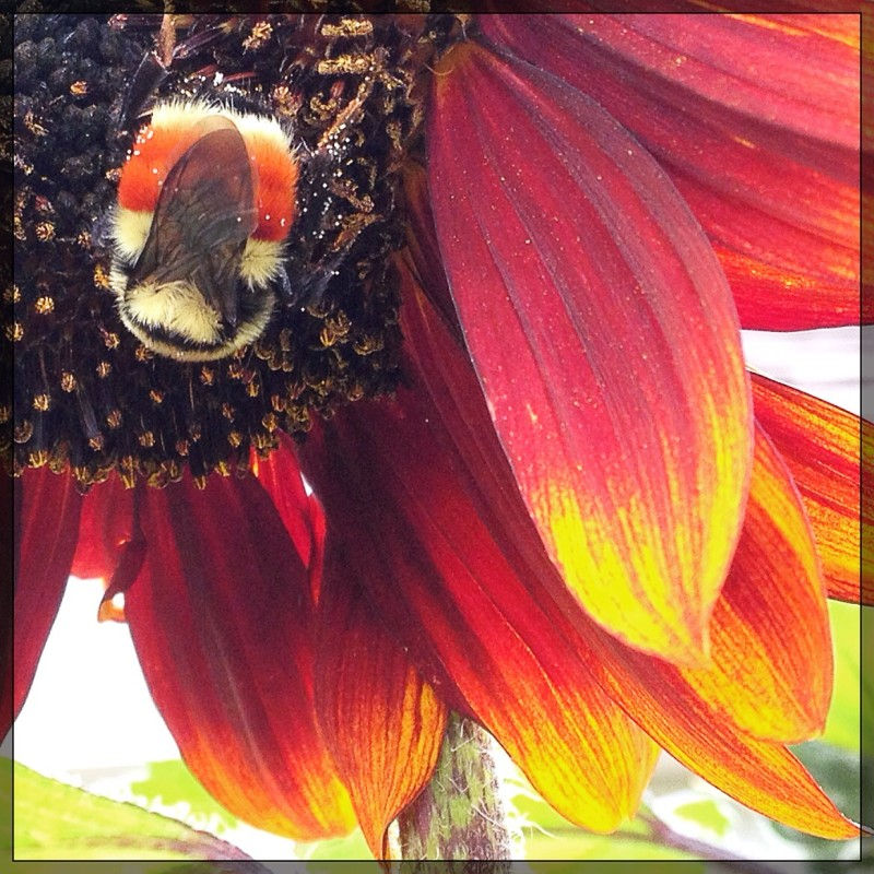 Camouflaged Bee on Sunflower